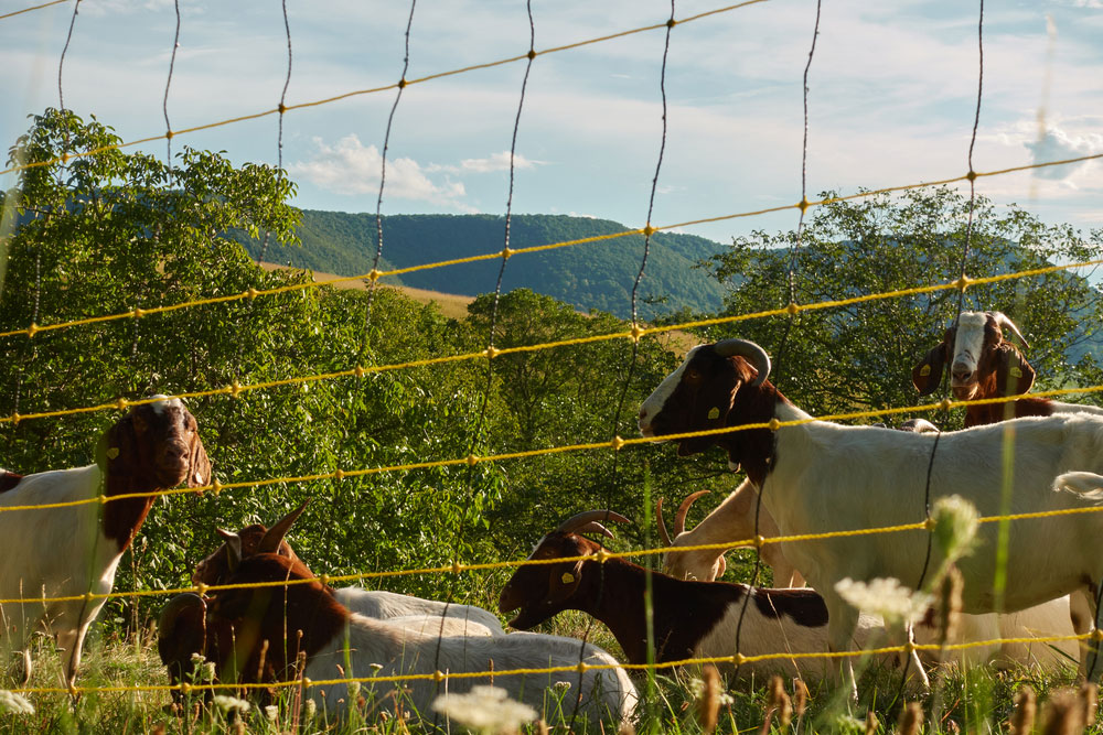 goats behind an electrically charged fence